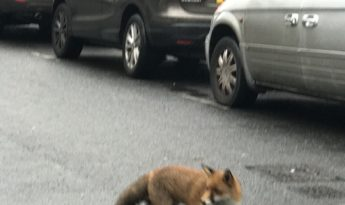 Foxy visitor spotted on Penywern Road!